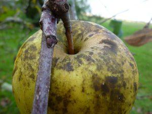 arbo-suie-pomme