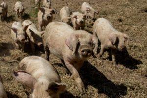 Porcs blancs de l'ouest en bio
