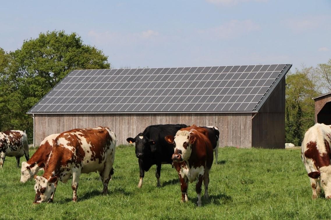 Troupeau de vaches laitières biologiques en Bretagne