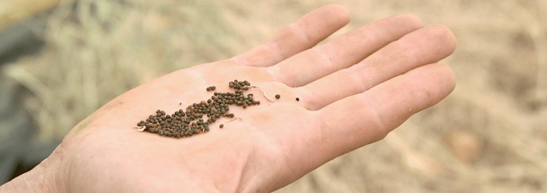 semences paysannes