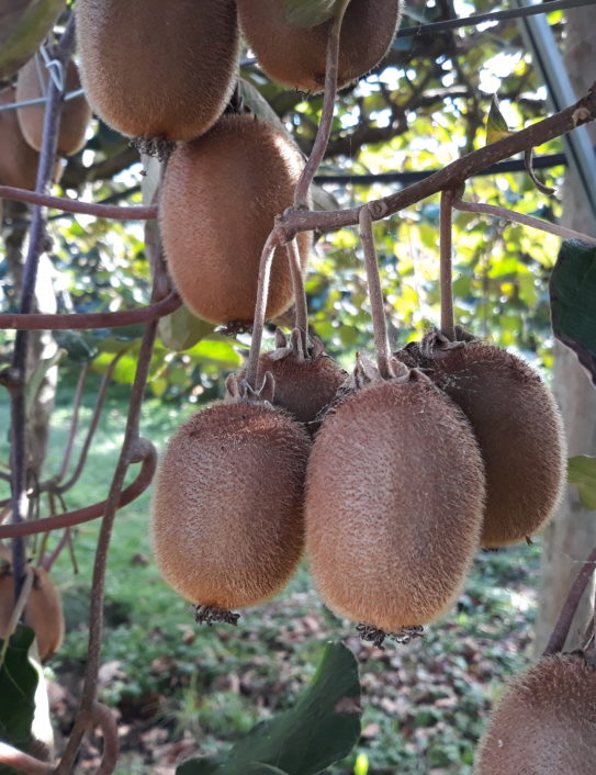 Kiwi biologique